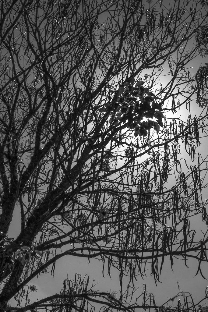 Cerejeiras_I_b-68